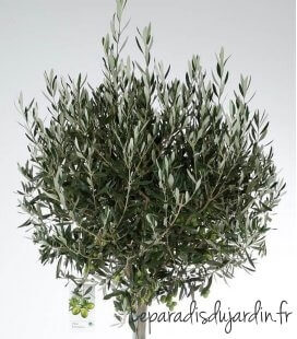 Olea Europaea, Olivier Europe Ball on stem 35 liters height 165 / 180cm green decoration pot