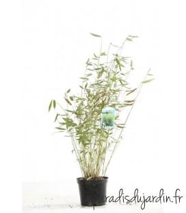Bambou Fargesia Dracocephala non-traçant pot c3l hauteur 50-70cm
