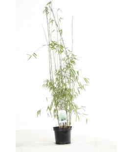 Special hedge bamboo fargesia jiuzhaigou sp 1 pot 3L height 80-100cm