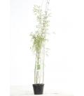Special haie bambou fargesia jiuzhaigou sp 1 pot 3L hauteur 80-100cm