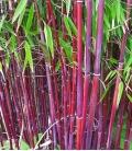 chaume rouge pourpre fargesia nitida jiuzhaigou sp1 exposé au soleil.