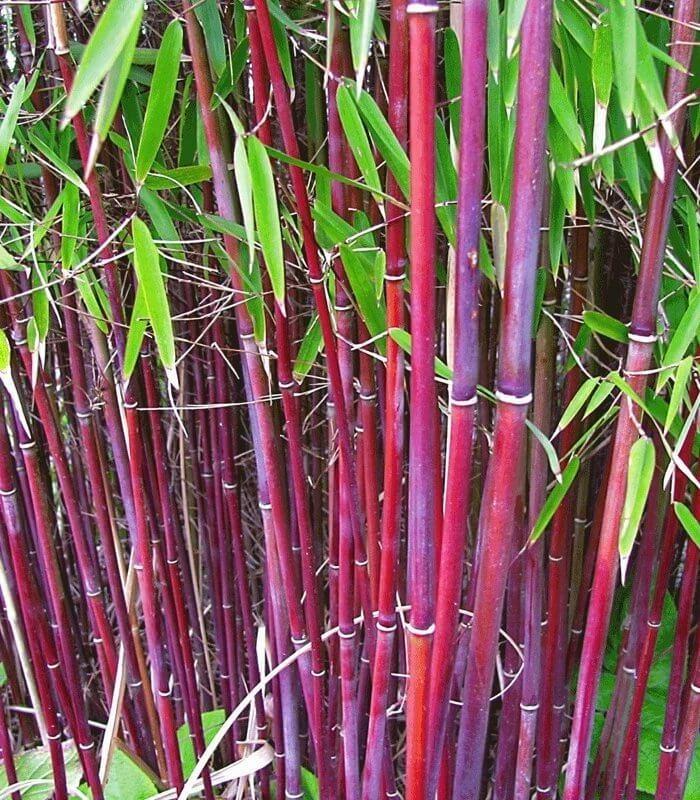 Bambou fargesia 39 jiuzhaigou sp 1 39 ou red panda - Bambou non tracant a croissance rapide ...