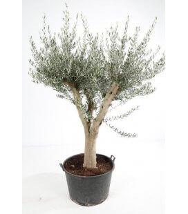 Olea Europaea, Olivier Europe tronc circonférence