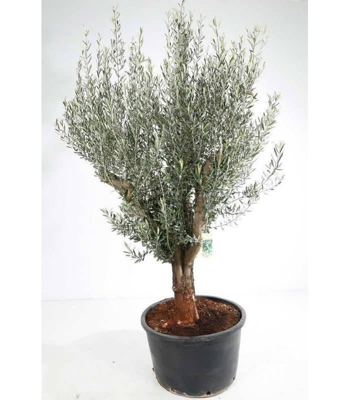 Olea europaea olivier europe vendu par circonf rence sujet solitaire - Olivier olea europaea prix ...