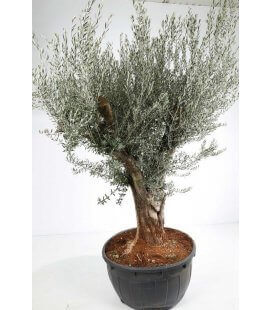 Olea Europaea, Olivier Europe tronc circonférence 80 cm