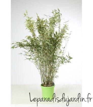 Fargesia Murielae Dino Pot Déco vert pot 15 litres hauteur 125/150cm hors pot