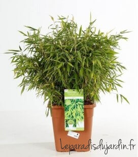 Fargesia Murielae Luca bamboo non-tracing dwarf pot of 14 liters