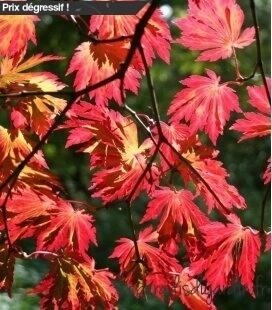 Acer Japonicum Aconitifolium pot 75 litres hauteur 200+ erable du japon