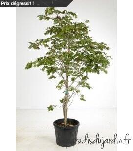Acer japonicum Aconitifolium pot 75l