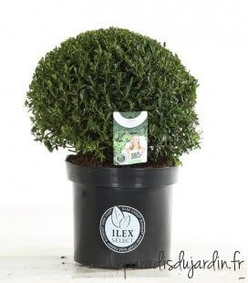 Ilex Crenata Blondie ® houx crénelé Boule diamètre 40cm c15 litres