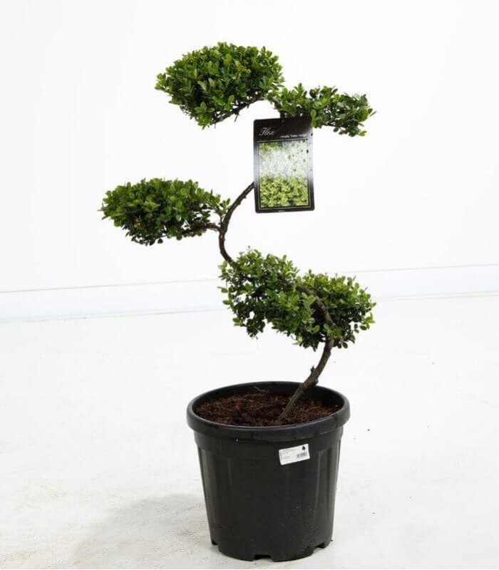 arbre nuage japonais niwaki ilex crenata houx cr nel bonsai pas cher. Black Bedroom Furniture Sets. Home Design Ideas
