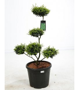 Ilex Crenata Green Hedge - Tree Cloud holly crenellated pot 35 liters height 60-80cm off pot