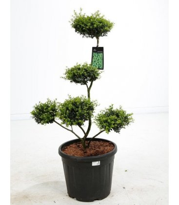 arbre nuage japonais niwaki ilex crenata houx cr nel bonsai pas cher. Black Bedroom Furniture Sets. Home Design Ideas