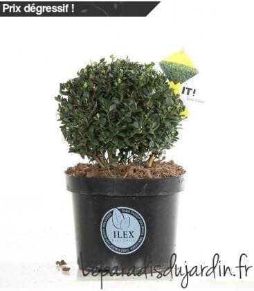 Ilex Crenata Dark Green ® Boule c5 litres diamètre 22cm houx crénelé