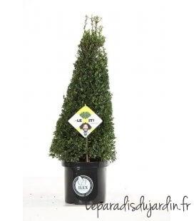 Ilex Crenata Dark Green ® Pyramide c10L hauteur 60-80cm