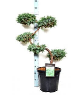 Juniperus Squamata Blue Carpet bonsai c15L hauteur 60-80cm