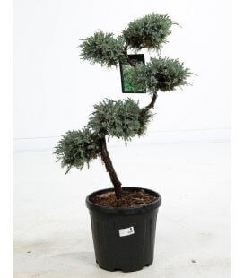 Bonsai Juniper Squamata Blue Carpet size S c15 liters height 80-100cm