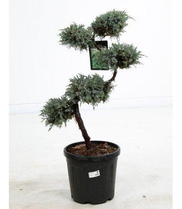 Bonsaï Juniperus Squamata Blue Carpet taille S c15 litres hauteur 80-100cm