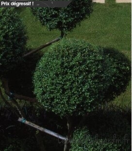 Ligustrum Jonandrum 6 trays privet topaire
