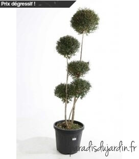 Ligustrum Jonandrum 5 balls 5 stems pot 50 liters