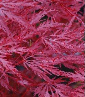 Acer Palmatum Dissectum Inaba shidare grand sujet c35 litres hauteur 100cm+