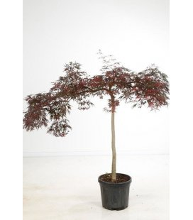 Acer Palmatum Aconitifolium