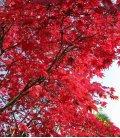 Acer Palmatum BLOODGOOD grand sujet