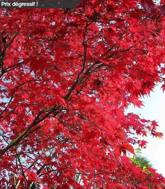 Acer palmatum bloodgood rable du japon pourpre grand sujet - Erable du japon bloodgood ...