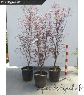 Acer Palmatum BLOODGOOD grand sujet c35 litres haureur 150cm+