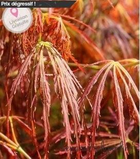 Acer Palmatum dissectum Red Autumn Lace gros sujet 230 litres !