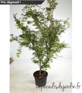 Acer Palmatum Sangokaku Grand sujet pot 35 litres hauteur 150cm et + erable du japon senkaki