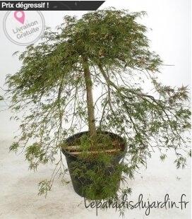 Acer Palmatum Ornatum erable du japon magnifique pot 110 litres hauteur 150cm et+