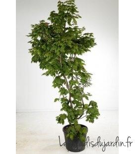Acer japonicum Vitifolium pot 75l