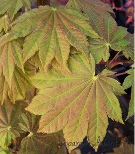 Acer japonicum Vitifolium pot 75l couleur du feuillage