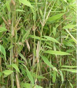 Fargesia Murielae Dino Pot Déco bambou non traçant