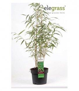 Lot de 8 Fargesia Scabrida Asian Wonder P19 special haie bambou non traçant