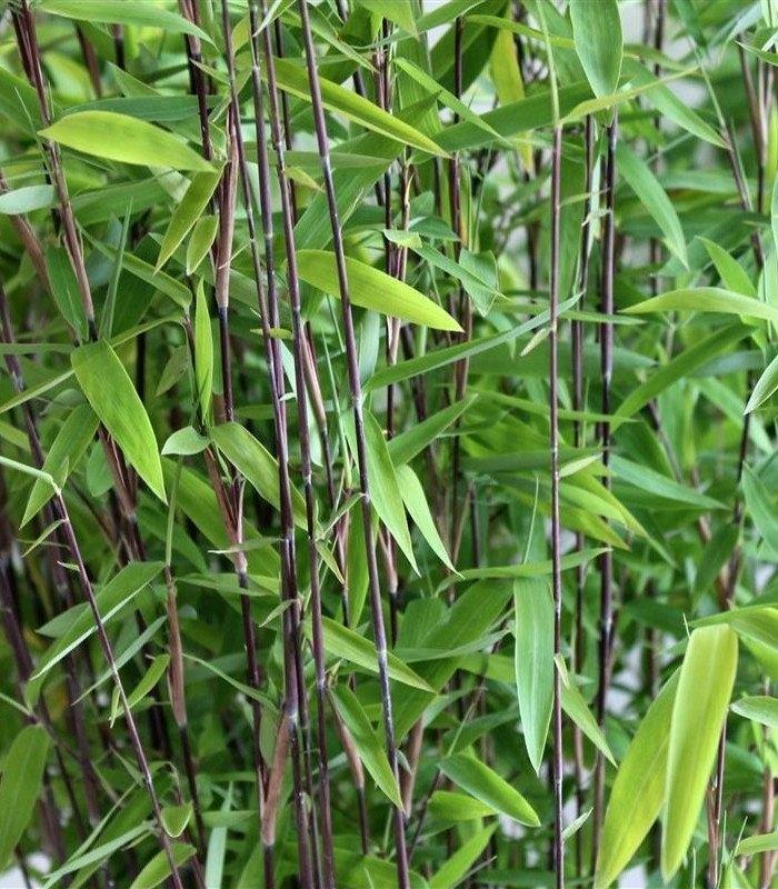 Bambou non tra ant fargesia nitida volcano - Bambou non tracant a croissance rapide ...