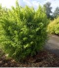 Bambou non traçant Fargesia nitida Volcano ( gansu-nitida 5)