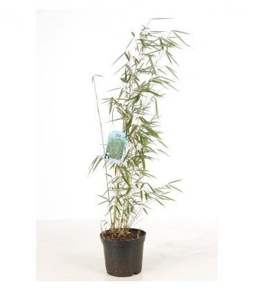 Bambou Fargesia Robusta Campbell c3l non traçant