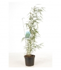 Fargesia Robusta Campbell upright habit adult height 4 meters