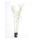 Bambou Fargesia Robusta Campbell c3l non traçant hauteur 60-80cm
