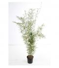 Bambou Fargesia Robusta Campbell c7,5l non traçant hauteur 100-125cm