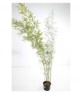 Bambou Fargesia Robusta Campbell C12l non traçant hauteur 175-200cm