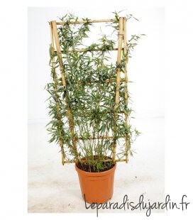 Fargesia Murielae Dino Pot Espalier ideal for making a breeze seen on a terrace or a separation between table