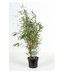 Bamboo Fargesia Nitida Great Wall pout 3 liters height 60-80cm