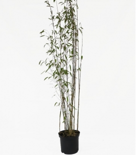 Non-marking bamboo Fargesia Nitida 'Viking' c5L height 80-100cm