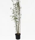 Bambou non-traçant Fargesia Nitida 'Viking' c5L hauteur 80-100cm