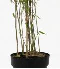 Bambou non-traçant Fargesia Winter Joy c3L hauteur 60-80cm