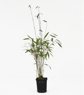Bamboo non-tracing Fargesia nitida Winter Joy c1l height 30-40cm