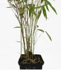 Bambou non-traçant Fargesia nitida Winter Joy c1l hauteur 30-40cm